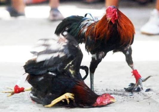 Berkah Yang Didapat Sabung Ayam Online
