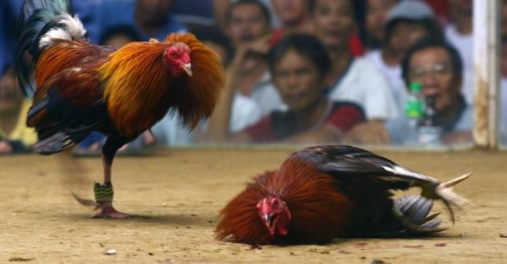 Hal Buruk Saat Bermain Sabung Ayam Online